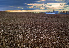 Corn Blowin' In The Wind (nelhiebelv) Tags: county sunset corn michigan farm windy rolling cinton lowellroad cloudsstormssunsetssunrises