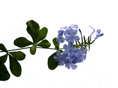 PLUMBAGO (sim_limited) Tags: blue flower green purple noflash whitebackground plumbago nolight pentaxlife sunlightonly pentaxart pentaxawards