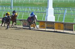 2015-10-30 (1) r1 Lauralea Glaser on #8 Unbridledrebellion (JLeeFleenor) Tags: photos photography md marylandracing marylandhorseracing laurelpark femaleathletes femalejockey jockey   jinete  dokej jocheu  jquei okej kilparatsastaja rennreiter fantino    jokey ngi horses thoroughbreds equine equestrian cheval cavalo cavallo cavall caballo pferd paard perd hevonen hest hestur cal kon konj beygir capall ceffyl cuddy yarraman faras alogo soos kuda uma pfeerd koin    hst     ko  grey gray winner maryland