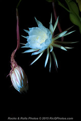 HZP_0797 (Ric Quintanilla) Tags: cereus nightblooming