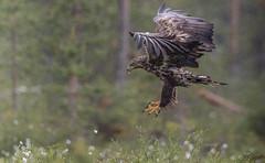 Merikotka, Haliaeetus albicilla, White-tailed eagle (MatsOnni) Tags: finland birdsofprey whitetailedeagle kuhmo haliaeetusalbicilla merikotka viiksimo
