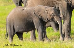 JHG_6429-b Adolescent Elephant, Amboseli, Kenya. (GavinKenya) Tags: africa wild nature animal june john mammal photography gavin photographer kenya african wildlife july grand safari dk naturephotography kenyasafari africansafari 2015 safaris africanwildlife africasafari johngavin wildlifephotography kenyaafrica kenyawildlife dkgrandsafaris africa2015 safari2015 johnhgavin