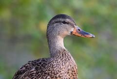 Mallard (careth@2012) Tags: nature wildlife beak portrait feathers headshot duck