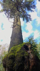 A huge gall on a huge tree (Ruth and Dave) Tags: tree forest big rainforest growth evergreen huge trunk tall squamish mossy gall conifer temperate