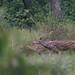 Sambhar deer, Chitwan National Park
