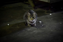 Petit Chat (xTreMovies) Tags: voyage trip travel winter cat gris nikon chat looking little south hiver ground morocco maroc marrakech sud petit protecting affraid 2015 d3300