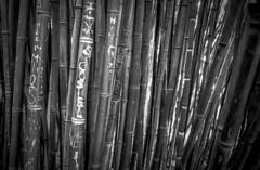 bamboo, botanical garden, vienna, austria (franzj) Tags: bamboo bambus kodaktrix400 film:iso=400 ilfordmicrophen film:brand=kodak developer:brand=ilford film:name=kodaktrix400 developer:name=ilfordmicrophen filmdev:recipe=10503