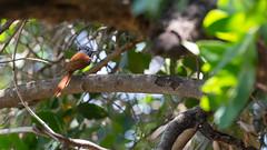 20151109_Shinde_0325.jpg (eLiL1860) Tags: bird birds botswana vögel vogel okavango africanparadiseflycatcher tierwelt graubrustparadiesschnäpper safari2015