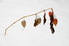 Valge ja punane (Jaan Keinaste) Tags: pentax k3 pentaxk3 eesti estonia loodus nature valge white punane red lumi snow harilikfsal physalisalkekengi wintercherry physalis fsal blasenkirsche lyhtykoisot lyktrtsslktet dumpln paprastojidumpln lyhtykoiso juutalaiskirsikka lampionblume juudakirss