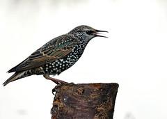 Starling 4. Sturnus  Vulgaris (michael.smith86) Tags: fz1000 iridescent flamborough east yorkshire panasonic bridge compact perch photography bird