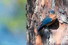 Bluebird Barking Up The Wrong Tree... (ac4photos.) Tags: bluebird easternbluebird nature wildlife animal bird florida everglades glades naturephotography wildlifephotography animalphotography birdphotography nikon d300s tamron ac4photos ac