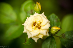 20160703-DSC_0004 (Vighnaraj Bhat) Tags: nikon nikkor105mmf28gvr macro bokeh flower bokehlicious rose beyondbokeh theunforgettablepictures outdoor depthoffield dof