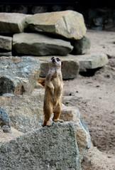 Things suddenly seem to be looking up! (davygenney) Tags: meerkat edinburgh edinburghzoo scotland