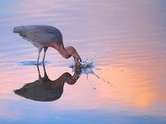 Reddish egret (Egretta rufescens) (NicholasHess) Tags: sunset bird birds california splash pink reflection egret