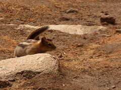 P1240517.jpg (NKSwampie) Tags: 2016 20thseptember california goldenmantledgroundsquirrel september yosemite wisebirding