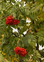Late Season Berries (rumimume) Tags: potd rumimume 2016 niagara ontario canada photo canon 550d t2i sigma autum fall