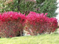 November Fire (Lana Pahl / Country Star Images) Tags: catchycolors colorsofflickr autumn autumnfallcolorsand autumncolors autumnseason petalsandfrost