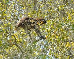 F7K_6035 (68photobug) Tags: 68photobug nikon d7000 nikkor 28300mm usa centralflorida polkcounty lakeland circlebbar reserve preserve refuge park marsh sanctuary wetlands pinescrub nature naturecenter discoverycenter environmentalcenter wildlifemanagement alligatoralley mammal coon raccoon acorn oak