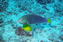 spectrum (BarryFackler) Tags: wrasse fish seacreature hawaiiisland konadiving coralreef 2016 honaunaubay scuba animal hinaleaakilolo corisgaimard yellowtailcoris cgaimard water sea bay ocean saltwater hawaiianislands marine bigislanddiving organism sealife ecology zoology biology marinelife hawaii southkona pacificocean being creature vertebrate konacoast life marineecology tropical undersea outdoor island reef aquatic marineecosystem bigisland underwater pacific westhawaii ecosystem coral polynesia sealifecamera sandwichislands dive fauna hawaiicounty diver kona diving marinebiology honaunau hawaiidiving barryfackler barronfackler nature