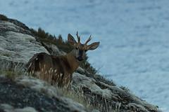 Huemul (Francisca Santamara) Tags: huemul chile nacional tamango cochrane animal