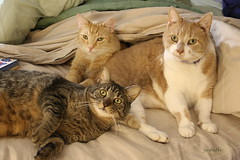 settling in (judecat (back with the pride)) Tags: cats felines catsonthebed redtabbies browntabby ozzie floydd leo