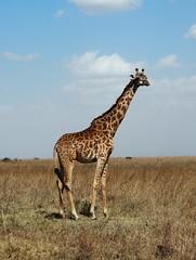 Nairobi National Park (Laika ac) Tags: nairobinationalpark nairobi africa kenya giraffe