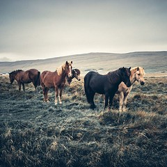 The soul of this Island  💥 w/ Tracy Komlos Nicole Rose Mollie Brown Lisa Homsy for Pangea Dreams #iceland #horse (bastihansen) Tags: tel aviv israel motion pictures photography inspiration basti hansen bastian köln cologne germany