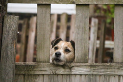 IMG_2536 (DanMarty92) Tags: dog pet guarddog jackrussell crossbreed gate cute terrier