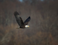 Back to the Dam (Mike Bader) Tags: conowingodam conowingoeagles conowingobaldeagles conowingo conowingomaryland baldeagles eagles americanbaldeagle raptor birdsofprey birdphotography