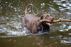 Brandysnapbabe (PottsyPics) Tags: chocolate labrador brown river tree branch swimming wet dog chocolatelabrador fetch rivertanat splash water pet furbaby