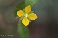 Wild flower (Amir H zah2) Tags: yellow yellowflower kuning wildflower gulma flowers bungaliar plant tumbuhan