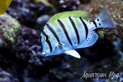 Acanthurus triostegus (AquariumBlog.es) Tags: acuario aquarium peces fish pez marino saltwater water freshwater dulce agua corales payaso clown sepia acantharus pterois pomacanthus barcelona arrecife reef
