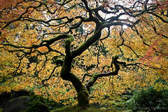 Japanese Maple (EighteenPercentGray) Tags: green fall autumn portland japanese garden gardens tree leaf leaves canon 70200 7d t3i nature bokeh mapel