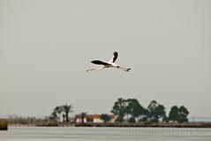 Flamenco comn (JAUME CASELLES) Tags: aves jaume phoenicopterus roseus flamenco comn