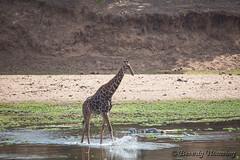 42-South_Africa-2016 (Beverly Houwing) Tags: bank crocodileriver cross drink giraffe krugerpark shallow southafrica splash water