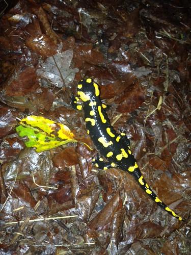 Feuersalamander (Salamandra salamandra) (3), NGIDn2062852440