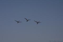 Swans (Natali Antonovich) Tags: winter tervuren belgium belgie belgique nature christmas birds swans flight sky