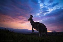 Kangaroo storm sunset (Petra Ries Images) Tags: kangaroo känguru sunset clouds storm animal silhouette sky himmel wolken sturm sonnenuntergang