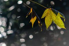 Autumn leaves (geert.dehert) Tags: nikon nature naturephotographer naturephotography bokeh bokehlicious autumn leaves