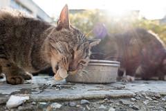 (GenJapan1986) Tags: 2016           miyagi island nonoshima japan cat animal sun fujifilmx70