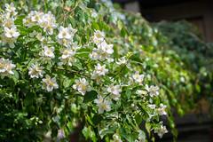 Remember those days ! (ralfkai41) Tags: garden bush plant pflanzen blossoms blten jasminumofficinale nature flower garten jasmin outdoor echterjasmin whitejasmin natur blumen