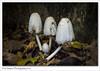 Family of Ink Caps (Paul Simpson Photography) Tags: photoof photosof imagesof imageof paulsimpsonphotography naturephotos november2016 sonya77 sonyphotography mushroom mushrooms fungi fungus leaves inkcap toadstool