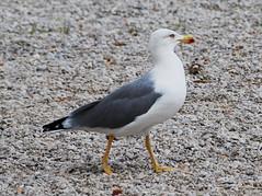 Lone Gull (petrk747) Tags: seagull gull fauna bird nature mediterraneancoast coastline seacoast sea travelling toulon provencealpesctedazu france