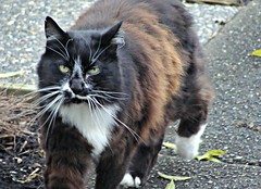 Wait for Me (knightbefore_99) Tags: cat chat gato kitty run street free freedom feline cute friendly eastvan vancouver bc whiskers white cool awesome art