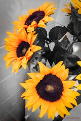 324/366 - Sunny (roblee.photography) Tags: flowers night selectivecolour sunflowers project365 project365324 project36519nov16 2016 november appleiphone5c iphone5cbackcamera412mmf24 pictureaday photoaday oneaday