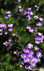 Turning Purple... (Lawrence OP) Tags: advent purple flowers green colour liturgical year liturgy