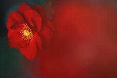 Rose 20 (lakeside_cat) Tags: rose red redrose redflower