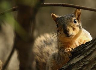 Squirrel, Cantigny Park. 42 (EOS)
