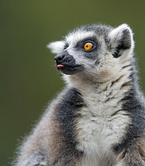 Another lemur portrait (Tambako the Jaguar) Tags: profile portrait tongue face ringtailed catta black white lemur primate parcanimalier saintecroix park parc rhodes zoo france nikon d5