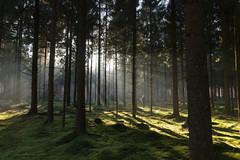 (CarolienCadoni..) Tags: sonyslta99 sal2470z forest trees light sun sunlight shadows shadowandlight sunrays rays raysoflight drouwen